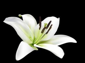 2f20c62db0c2464cb92e1d2669405769--white-lily-flower-white-lilies